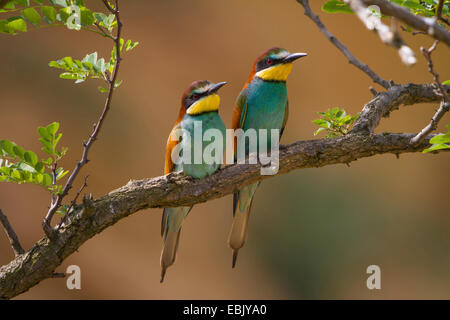 European bee eater (Merops apiaster), two bee-eater sitting side by side on a twig, Austria, Burgenland Stock Photo