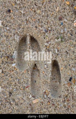 roe deer (Capreolus capreolus), track in rain-wet sand, Denmark - Stock Photo