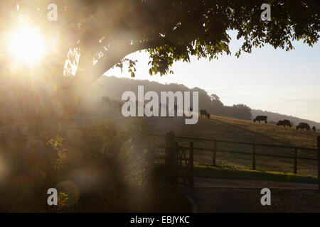 Herd of silhouetted cows grazing on hillside at sunrise - Stock Photo