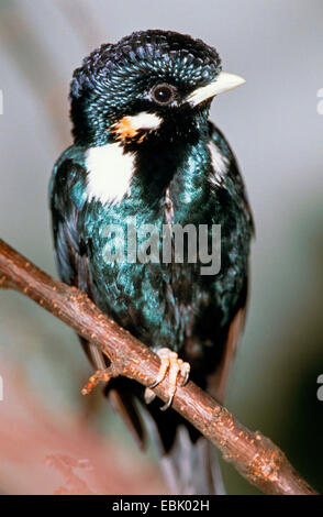 Sulawesi king starling, Sulawesi Myna, Sulawesi Crested Myna (Basilornis celebensis), sitting on a branch, Indonesia - Stock Photo