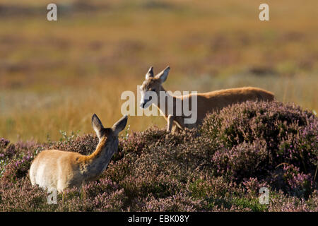 roe deer (Capreolus capreolus), doe and fawn in heathers, Germany, Schleswig-Holstein - Stock Photo