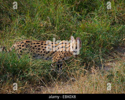 serval (Leptailurus serval, Felis serval), standing in savanna with caught mouse in its mouth, Kenya, Masai Mara - Stock Photo