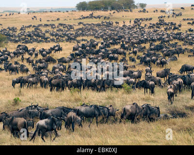 blue wildebeest, brindled gnu, white-bearded wildebeest (Connochaetes taurinus), herd in savannah, Kenya, Masai - Stock Photo