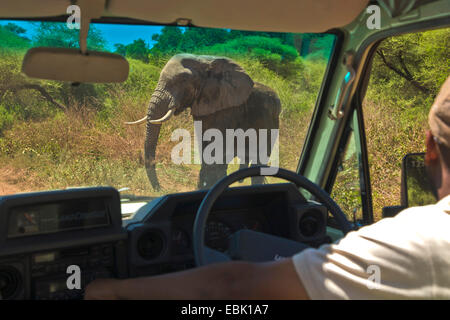 African elephant (Loxodonta africana), male elephant crossing the road in front of a car, Tanzania, Lake Manyara - Stock Photo