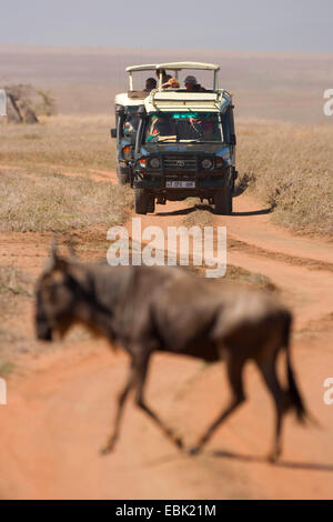 blue wildebeest, brindled gnu, white-bearded wildebeest (Connochaetes taurinus), on migration watched by safari - Stock Photo