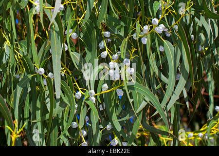 Tasmanian blue gum, Blue gum, Southern Blue Gum (Eucalyptus globulus), buds - Stock Photo