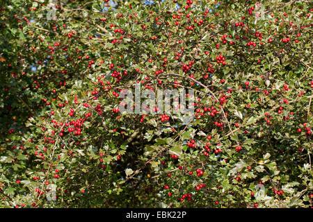 common hawthorn, singleseed hawthorn, English hawthorn (Crataegus monogyna), fruiting shrub, Germany - Stock Photo