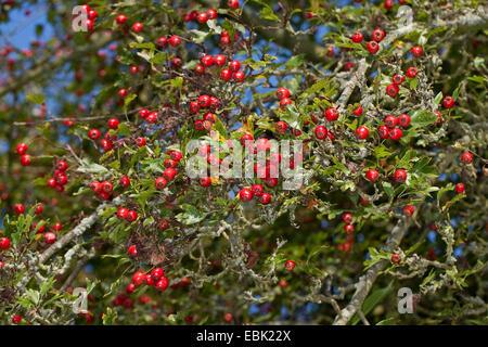 common hawthorn, singleseed hawthorn, English hawthorn (Crataegus monogyna), branch with fruits, Germany - Stock Photo