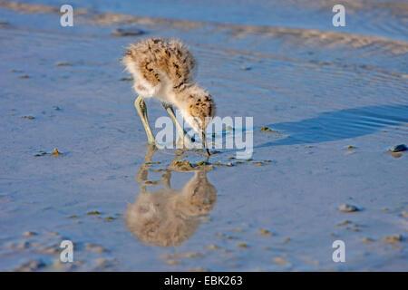 pied avocet (Recurvirostra avosetta), squeaker on the feed in water, Austria, Burgenland, Neusiedler See National - Stock Photo