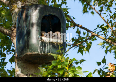 common kestrel (Falco tinnunculus), chicks peering from a nest box, Austria, Burgenland - Stock Photo