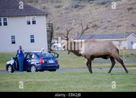 wapiti, elk (Cervus elaphus canadensis, Cervus canadensis), Rutting bull Elk in town, USA, Wyoming, Yellowstone - Stock Photo