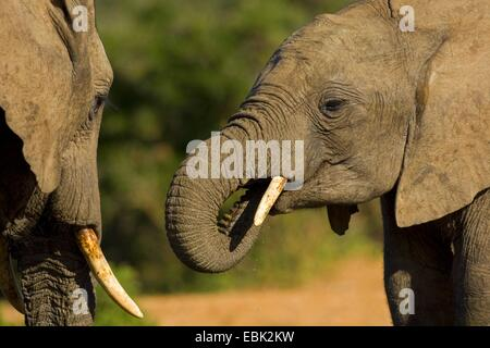 African elephant (Loxodonta africana), drinking at a waterhole, South Africa, Eastern Cape, Addo Elephant National - Stock Photo