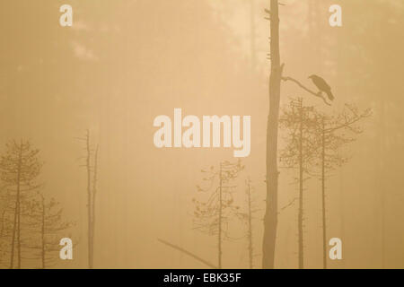 common raven (Corvus corax), silhouetted at dawn in boreal forest, Finland, Kuhmo - Stock Photo