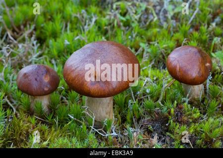 slippery jack (Suillus luteus), on moss, Denmark, Jylland - Stock Photo
