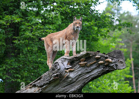 Eurasian lynx (Lynx lynx), standing on a looming dead tree trunk looking out, Germany - Stock Photo