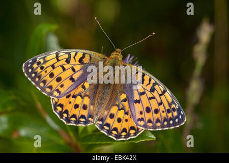 dark green fritillary (Argynnis aglaja, Mesoacidalia aglaja), female sitting on a blossom, Germany - Stock Photo
