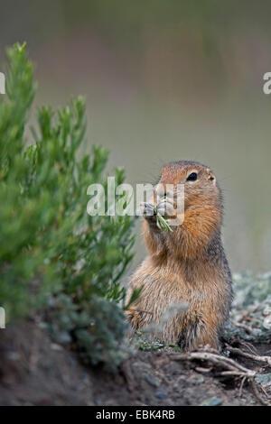 Arctic ground squirrel (Citellus parryi, Citellus undulatus, Spermophilus parryii), feeding, Canada, Yukon Territory, - Stock Photo