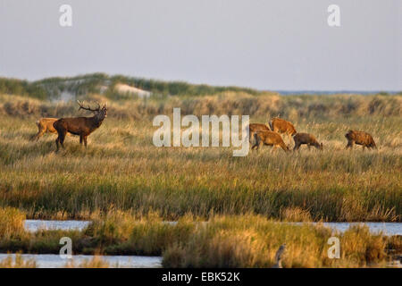 red deer (Cervus elaphus), group in the dune landscape at the Darss during the rutting season, Germany, Mecklenburg - Stock Photo