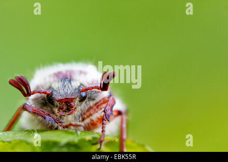 common cockchafer, maybug (Melolontha melolontha), sitting on a leaf, Germany, Bavaria, Waldrand - Stock Photo