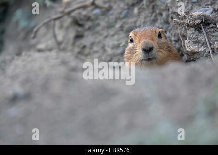 Arctic ground squirrel (Citellus parryi, Citellus undulatus, Spermophilus parryii), peering from ist burrow, Canada, Yukon Territory, Kluane National Park
