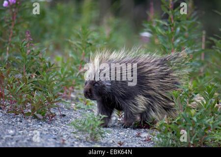 North American porcupine (Erethizon dorsatum), walking, Canada, Yukon Territory, Kluane National Park - Stock Photo