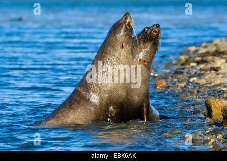 Antarctic fur seal (Arctocephalus gazella), fighting, Suedgeorgien - Stock Photo