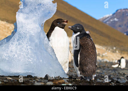 adelie penguin (Pygoscelis adeliae), two young Adelie Penguins moulting, Antarctica, Devil Island - Stock Photo