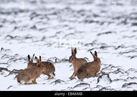 European hare, Brown hare (Lepus europaeus), hares on a snowy field, Germany, Schleswig-Holstein - Stock Photo