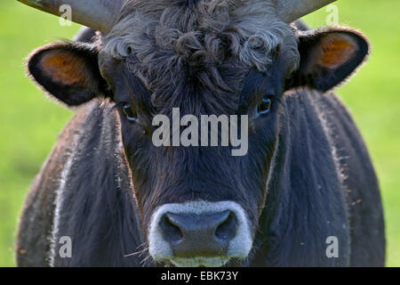 Heck cattle (Bos primigenius f. taurus), bull, portrait, Germany, Schleswig-Holstein - Stock Photo