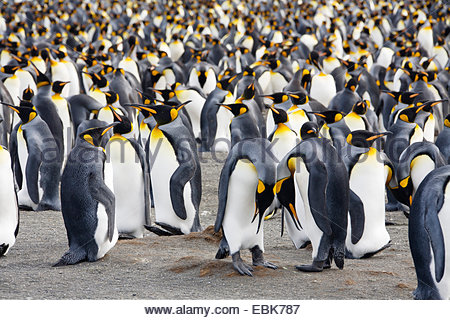 king penguin (Aptenodytes patagonicus), breeding colony, Suedgeorgien, Gold Harbour - Stock Photo