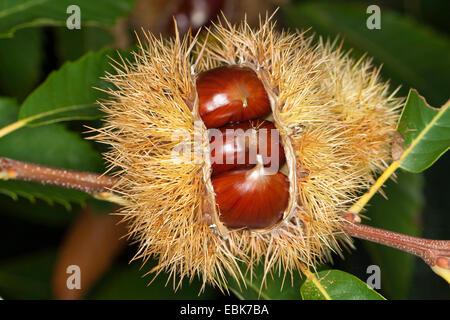 Spanish chestnut, sweet chestnut (Castanea sativa), fruits on a tree - Stock Photo