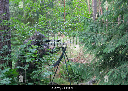 camouflaged hunter in thicket, Germany, Lower Saxony - Stock Photo