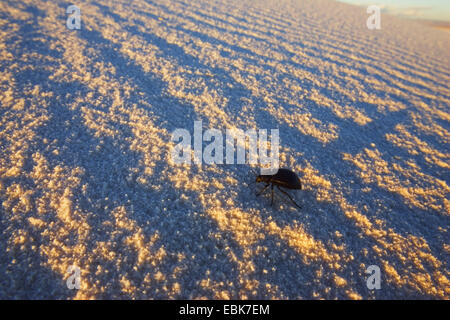 beetle on dune, USA, New Mexico, White Sands National Monument - Stock Photo