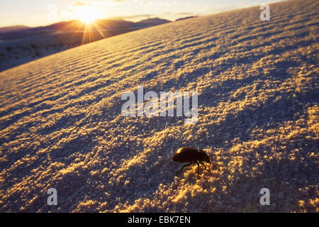 beetle on dune at sunset, USA, New Mexico, White Sands National Monument - Stock Photo