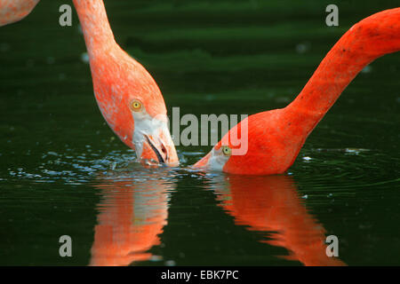 Greater flamingo, American flamingo, Caribbean Flamingo (Phoenicopterus ruber ruber), pair on the feed in shallow - Stock Photo
