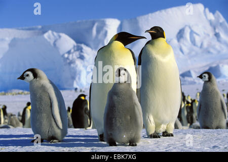 Emperor penguin (Aptenodytes forsteri), Emperor Penguins with chicks, Antarctica - Stock Photo