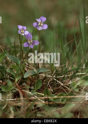 heath violet, heath dog-violet (Viola canina), flowers, Germany, North Rhine-Westphalia - Stock Photo