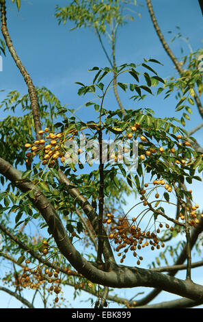 Persian lilac, chinaberry tree (Melia azedarach), fruiting, Greece, Crete - Stock Photo