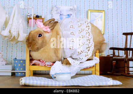 Netherland Dwarf (Oryctolagus cuniculus f. domestica), rabbit squashing in a bed in a bedroom - Stock Photo