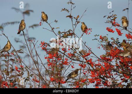 fieldfare (Turdus pilaris), flock sittin in a rowan tree, Germany