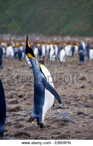 king penguin (Aptenodytes patagonicus), colony at the beach with a bird calling in the foreground, Suedgeorgien, - Stock Photo