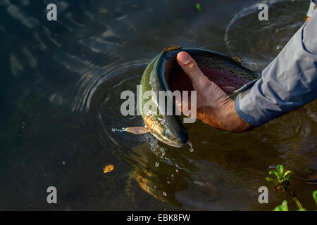 rainbow trout (Oncorhynchus mykiss, Salmo gairdneri), being put back into the water by a fly fisherman, Germany, - Stock Photo