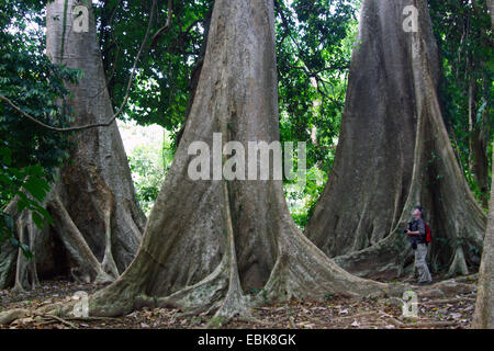 tropical tree with buttress roots, Thailand, Khao Sok National Park - Stock Photo