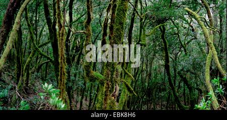 laurel forest in the mountains of Gomera, Canary Islands, Gomera, Garajonay National Park - Stock Photo