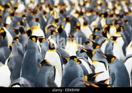 king penguin (Aptenodytes patagonicus), breeding colony, Suedgeorgien, Salisbury Plains - Stock Photo
