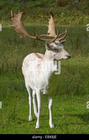fallow deer (Dama dama, Cervus dama), white morphe of a stag - Stock Photo