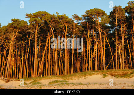 Scotch pine, scots pine (Pinus sylvestris), dune and pine forest, Germany, Mecklenburg-Western Pomerania, Nationalpark - Stock Photo