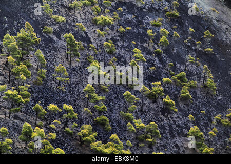 Canary pine (Pinus canariensis), pines growing in the crater, Canary Islands, La Palma, Vulkan San Antonio - Stock Photo