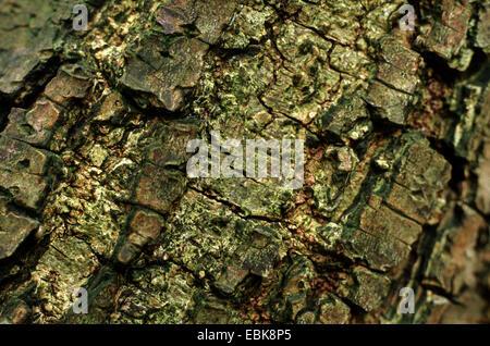 date plum tree (Diospyros lotus), bark - Stock Photo