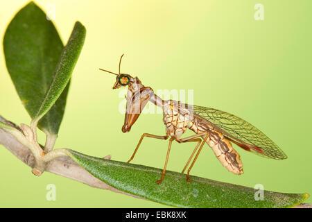 Mantis fly (Mantispa styriaca, Poda pagana, Mantispa pagana), sitting on a branch